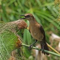 Rusty Blackbird Olympus Nikon Imaging