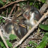Young Tricolor heron Olympus - Nikon Imaging