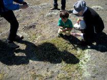 Inspecting a Pimelea prostrata