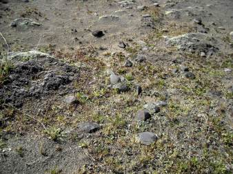 Evidence of Maori occupation, oven stones on a sand dune
