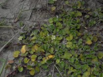 The other Dichondra, Mercury Bay weed, D. repens. This is the one that is used for a dichondra lawn.