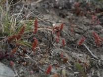 Most authorities think this one is an Ozzie too, clammy gypsophila, Gypsophila australis.