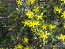 the divaricate shrub korokio has sweet scented blooms that will be followed by cotoneaster like fruits.