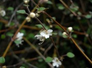Native verbena. Teucridium parvifolium