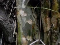 The bark of Coprosma virescens looks like the bark of plane trees (US sycamore)