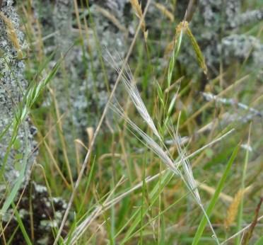 blue wheatgrass (Elymus solandri) with bright green heads of Rytidosperma gracile