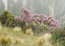 Pink broom, Marlborough