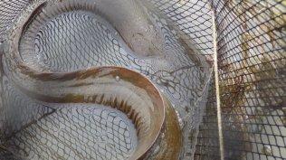Long finned eel classic wrinkles