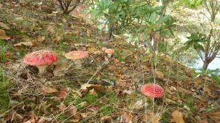 Alice's magic mushroom. The fly agaric, Amanita muscaria