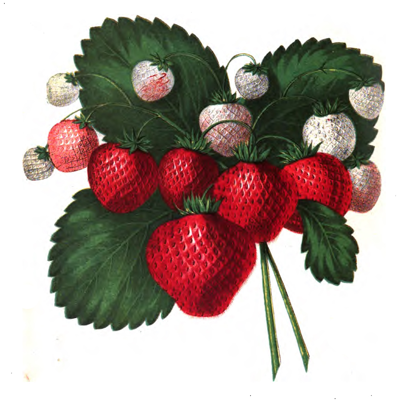 strawberry fruit diagram wiring for carrier ac science archives the graffical muse