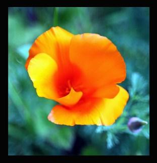 California Poppy in my garden today