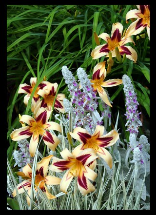 THIS DAYLILY IS A SPIDER VARIANT NAMED