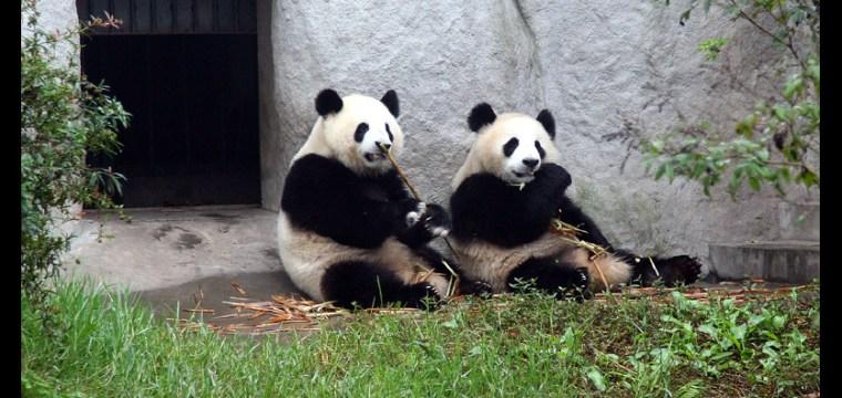IT WAS PANDAMONIUM!!!!! WE VISITED THE PANDAS TODAY!!