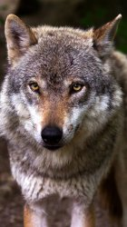 Wolf Wallpaper iPhone Android & Desktop Backgrounds