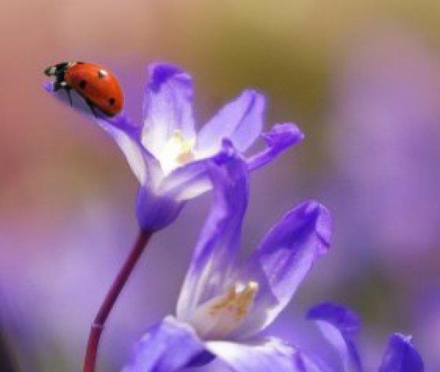 Ladybug On Purple Flower Wallpaper