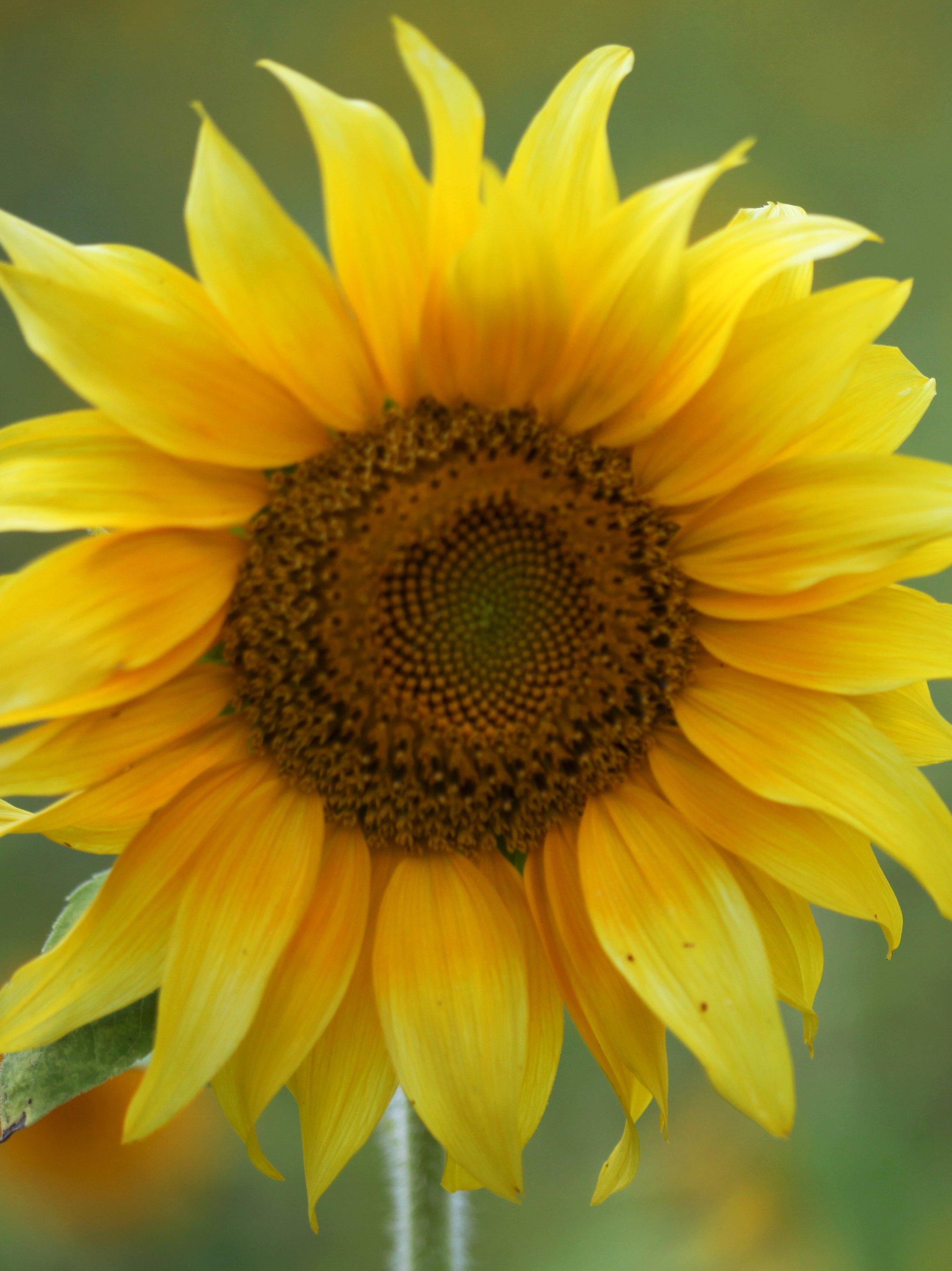 Sunflower Wallpaper Desktop : sunflower, wallpaper, desktop, Sunflower, Wallpaper, IPhone,, Android, Desktop, Backgrounds