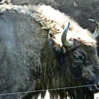 Bizon bizony