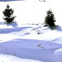 Drzewka iglaste choinki zasypane śniegiem zaspy zima