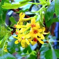 Kwiat agrestu agrest liście płatki żółte kwiaty