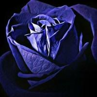 Piękna niebieska róża