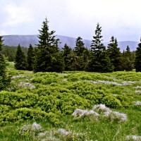Górski las drzewa iglaste kosodrzewina