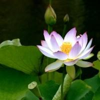 Lotos różowo biały