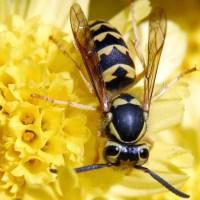 Osa na żółtym kwiatku