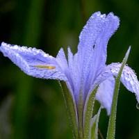 Zroszony fioletowy kwiat