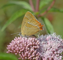 Brown Hairstreak on Hemp Agrimony