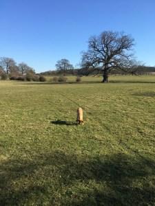 dog-in-a-field