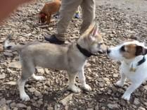 Beyond cute wolf pup