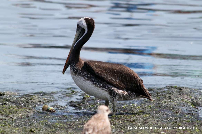 El Chaco solo Pelican