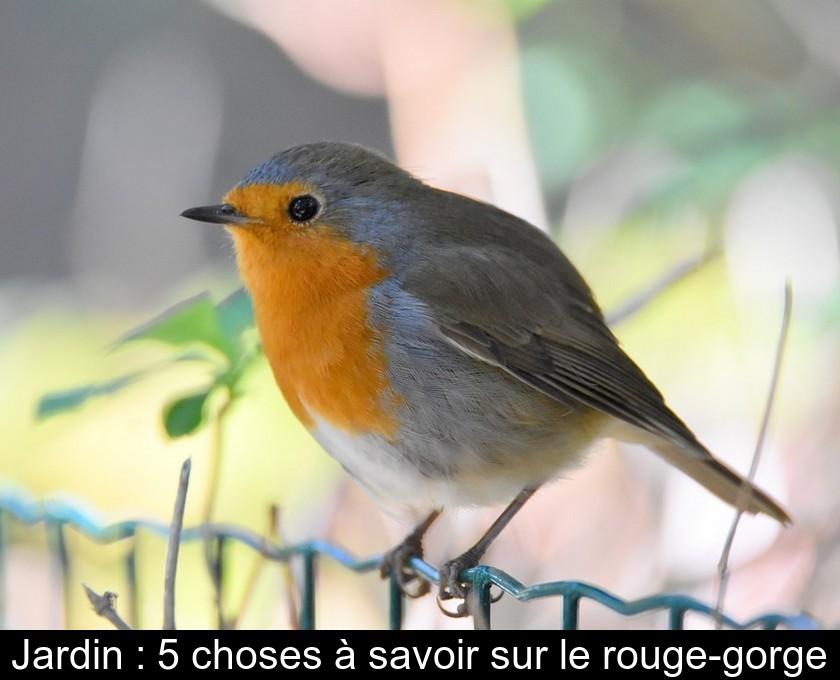 Durée De Vie D'un Rouge Gorge : durée, rouge, gorge, Jardin, Choses, Savoir, Rouge-gorge