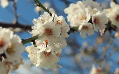 Almond blossom and other wintertime obsessions