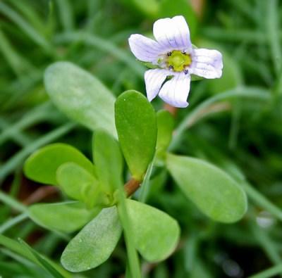 Liście i kwiat Bacopa Monnieri - działanie przeciwlękowe i adaptogenne