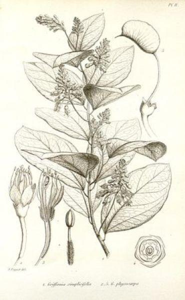 Szkic Griffonia Simplicifolia - ekstrakt, źródło 5-hydroksytryptofanu