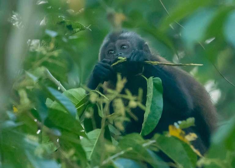Brown Kapuziner in der Nähe von Tamshiyacu Tahuayo Reserve