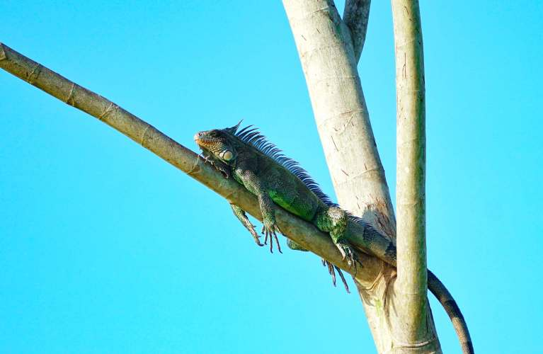Grüner Leguan im Amazonas-Dschungel von Peru nahe Iquitos