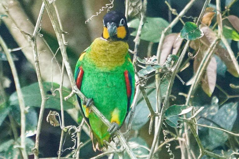 Orange cheeked parrot yellow cheeked parrot yanayacu river tributary of amazon river in peru