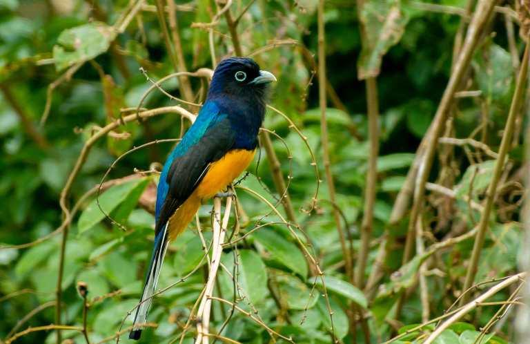 Grünes Trogon männliches peruanisches Amazonas-Tamshiyacu-Tahuayo-Reservat