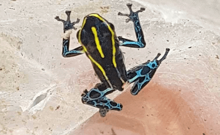 Poison Dart frog blue and yellow seen at San Pedro village