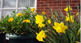 daffs & wallflowers