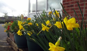 Daffs with wallflowers in background