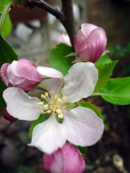 """Elstar"" apple blossom"