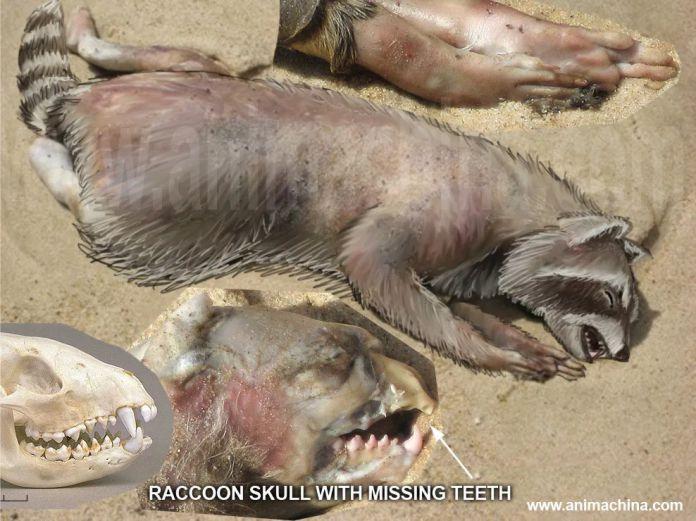 mapache muerto - El irresoluble misterio del Monstruo de Montauk