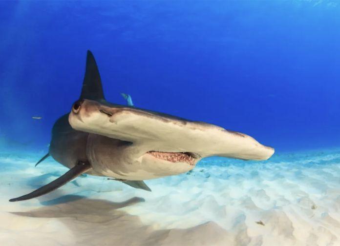 Tiburon martillo - ¿Cuántos dientes tiene un tiburón?