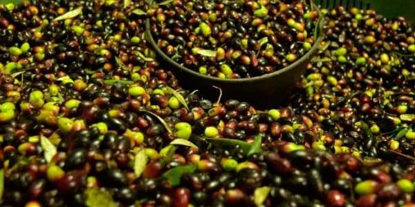aceituna y el precio del aceite sigue en caída
