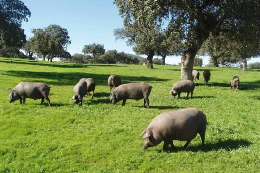 Cerdo Ibérico norma de calidad