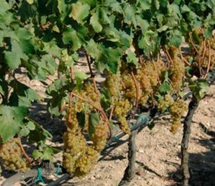 variedades de uva blanca