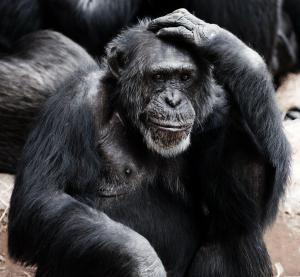 Un singe avec une main sur sa tête qui réfléchit
